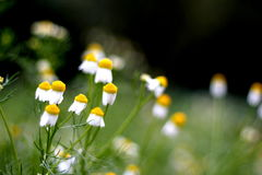 Chamomile dancing. Dancing chamomile make you feel peace calm and relax Royalty Free Stock Photography