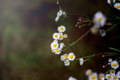 Chamomile on the Dark Background Royalty Free Stock Images