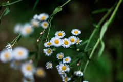 Chamomile on the Dark Background Stock Photography