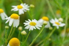 chamomile dof κινηματογραφήσεων σε πρώτο πλάνο μακρο ρηχό πλάνο λουλουδιών Στοκ εικόνες με δικαίωμα ελεύθερης χρήσης