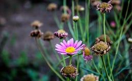 chamomile dof κινηματογραφήσεων σε πρώτο πλάνο μακρο ρηχό πλάνο λουλουδιών Στοκ Εικόνα
