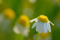 chamomile dof κινηματογραφήσεων σε πρώτο πλάνο μακρο ρηχό πλάνο λουλουδιών Στοκ Φωτογραφία