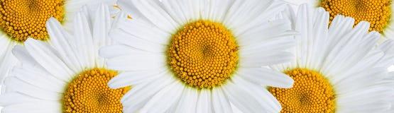 chamomile dof κινηματογραφήσεων σε πρώτο πλάνο μακρο ρηχό πλάνο λουλουδιών Στοκ φωτογραφίες με δικαίωμα ελεύθερης χρήσης