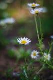 chamomile dof κινηματογραφήσεων σε πρώτο πλάνο μακρο ρηχό πλάνο λουλουδιών Στοκ εικόνα με δικαίωμα ελεύθερης χρήσης