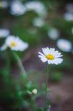 chamomile dof κινηματογραφήσεων σε πρώτο πλάνο μακρο ρηχό πλάνο λουλουδιών Στοκ Εικόνες