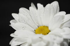 Chamomile with draps of water Stock Photo
