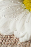 Chamomile with drops of water Stock Photos
