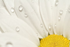 Chamomile with drops of water Stock Photo