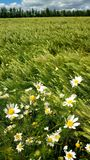Chamomile. Royalty Free Stock Photography