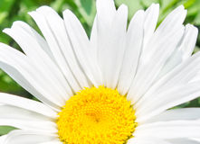 Chamomile. Element of design. Flower is chamomile. Element of design royalty free stock photography