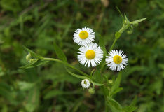 Chamomile Erigeron in spring Stock Photography