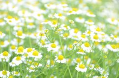 Chamomile feild Royalty Free Stock Images