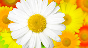 Chamomile Field. A creative colorful chamomile field background Stock Photography