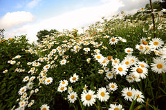 Chamomile field. White and yellow chamomiles on the field Stock Images