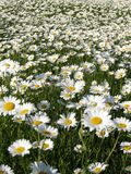 Chamomile field Stock Photography