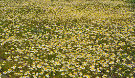 Chamomile field Stock Photos