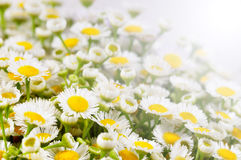 Chamomile field Royalty Free Stock Photography