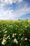 Chamomile field stock photo