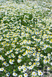 Chamomile field Royalty Free Stock Images