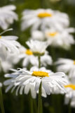 Chamomile field. Close-up of a beautiful chamomile in a flowers field Stock Images