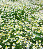 Chamomile field Royalty Free Stock Image