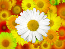 Chamomile Field Background Stock Photos