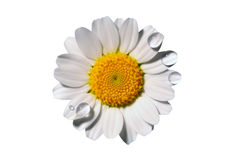 Chamomile field background royalty free stock image