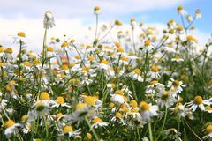 Chamomile field and blue sky Royalty Free Stock Images