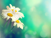 Chamomile field. Blur floral background. Stock Image