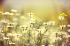 Chamomile field Royalty Free Stock Photos