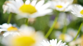 Chamomile field close upchamomile field close up camera moving, turning the focus stock footage