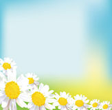 Chamomile field flower bouquet greeting card. Sunny chamomile field flower bouquet Stock Image