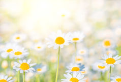 Chamomile field flowers border. background stock photos