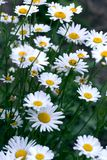 Chamomile field flowers border. Beautiful nature scene with blooming medical chamomilles. Alternative medicine Spring Daisy. Summer flowers. Beautiful meadow royalty free stock images