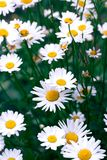 Chamomile field flowers border. Beautiful nature scene with blooming medical chamomilles. Alternative medicine Spring Daisy. Summer flowers. Beautiful meadow stock photos