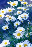 Chamomile field flowers border. Beautiful nature scene with blooming medical chamomilles. Alternative medicine Spring Daisy. Summer flowers. Beautiful meadow royalty free stock photo