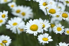 Chamomile field flowers border. Beautiful nature scene with blooming medical chamomilles in sun flare. Summer flowers. stock images