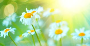 Chamomile field flowers border. Beautiful nature scene with blooming chamomiles in sun flares royalty free stock photo