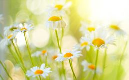 Chamomile field flowers border. Beautiful nature scene with blooming chamomiles in sunflares. Summer background stock image