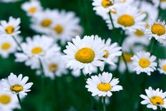 Chamomile field flowers border. Beautiful nature scene with blooming medical chamomilles. Alternative medicine Spring Daisy. Summer flowers. Beautiful meadow royalty free stock photos