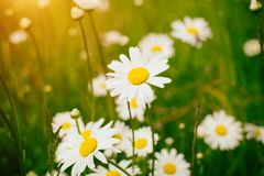 Chamomile field flowers border. Beautiful nature scene with blooming medical chamomilles in sun flare. Summer flowers. Beautiful meadow. Summer background stock image