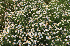 Chamomile field Stock Image