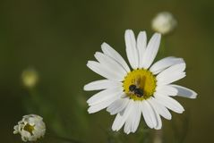 Chamomile. Field chamomile. Insect is sitting on a camomile Stock Photo