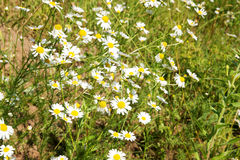 Chamomile field Stock Images