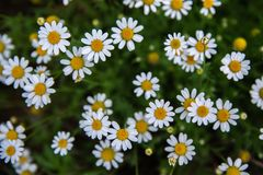 Chamomile field south France royalty free stock photo