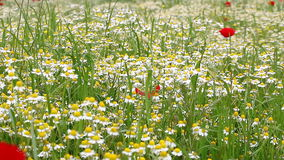 Chamomile field spring season stock footage