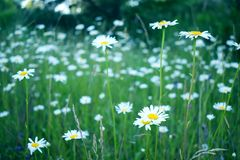 Chamomile field in summer, field with flowers stock photo