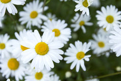 Chamomile field. Summertime Royalty Free Stock Image