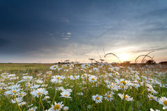 Chamomile field at sunset Stock Photo