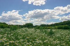 Chamomile field under blue sky. stock photos